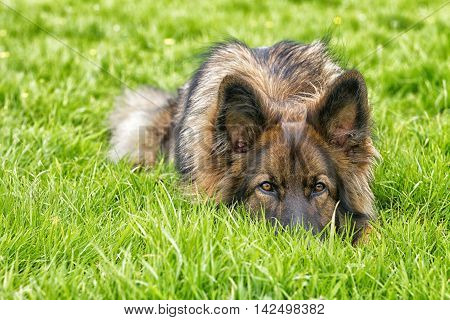 German Shepherd Dog laid on grass with his head flat on the ground.