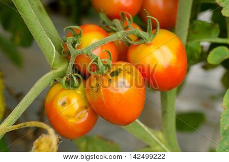Tomatoes with mold decaying on a garden tree 5
