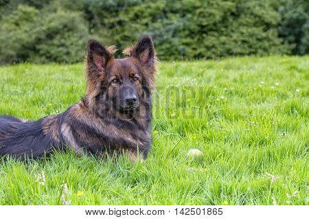 German Shepherd Dog laid on grass with his ball. He is looking intensely at the camera