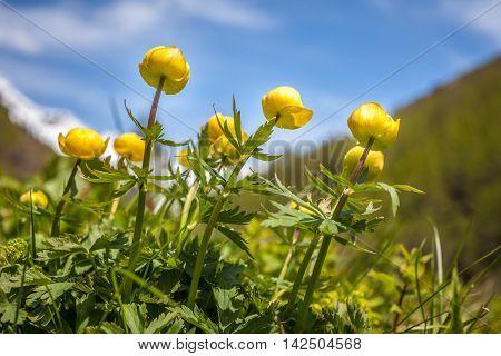 Globeflower (trollius Europaeus)
