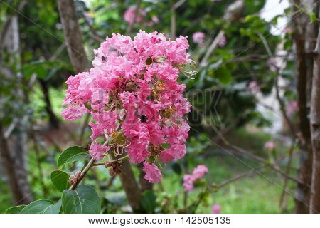 Crape Myrtle Beautiful pink flower : Lagerstroemia indica : blooms in the garden