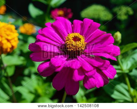 Large flower zinnias bright purple (pink) color on the background of nature. Close-up.