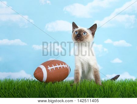 Siamese kitten sitting on grass looking up at the sky american football sitting on the grass next to him her. Fun depiction for foot ball season