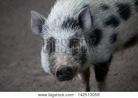 Gottingen minipig (Sus scrofa domesticus). Domestic animal.