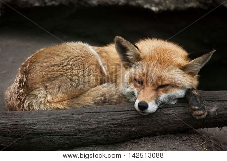 Red fox (Vulpes vulpes). Wildlife animal.