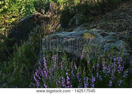 two large stones and flowering heather in the shadows of evening sunshine in a tourist area Machuv kraj near to the village Hradcany in czech republic