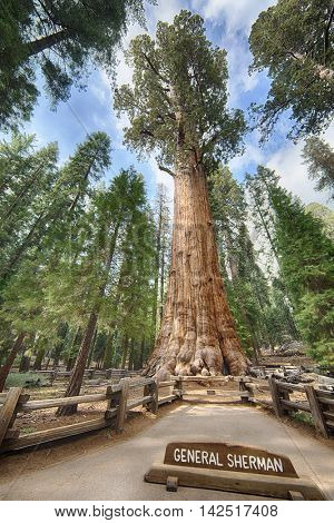 General Sherman giant Sequoia tree (sequoiadendron giganteum) is the largest tree on the Earth, Sequoia National Park, California, USA