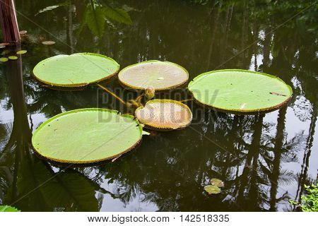 Victoria Regia, the world's largest leaves, of Amazonian water lilies