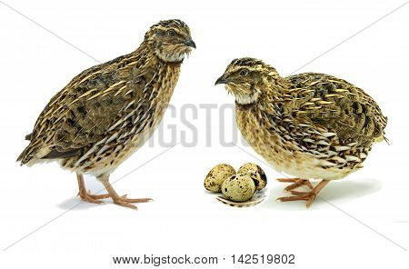 Adult domesticated quails with egg isolated on white background