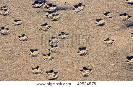 Seagull webbed foot print (tracks) on a sandy beach