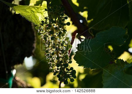 Small green bunch of grapes in backlight