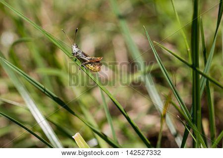 Grasshopper on a grass blade against green background