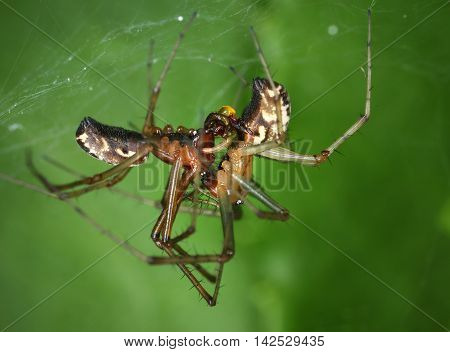 Common hammock weaver spiders mating close-up macro