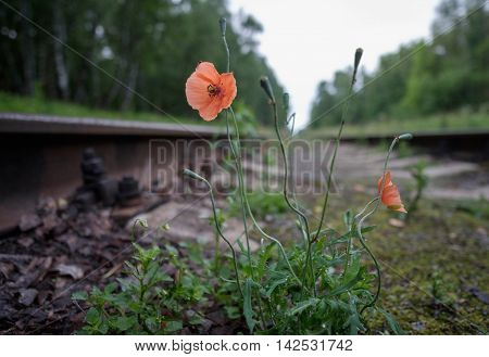 Wild poppy on the sleepers between the rails of a railroad