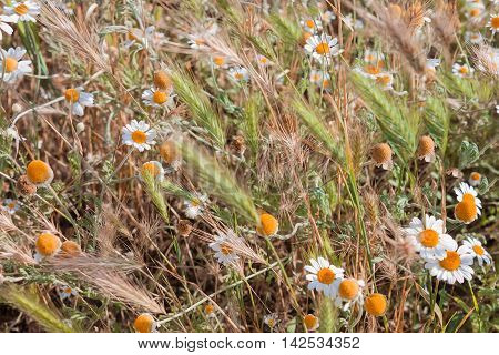 Small daisies and spikes in a meadow close-up on a sunny day