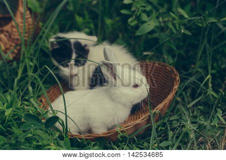 Domestic Rabbit And Kitten