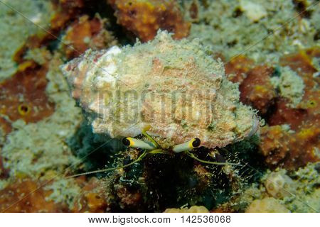 Hermit Crab from Gulf of Thailand, Chumphon, Thailand