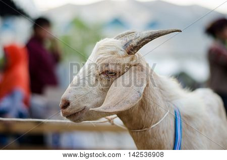 Photo of the goat portrait in the fair