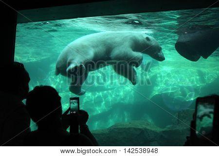 VIENNA, AUSTRIA - JUNE 7, 2015: Visitors look as a polar bear (Ursus maritimus) swimming underwater at Schonbrunn Zoo in Vienna, Austria. Wild life animal.