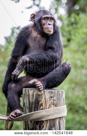 Chimpanzee sitting on post while looking to the side