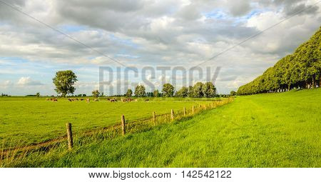 Picturesque typical Dutch rural landscape next to a river in the summer season. In the background red spotted cows are grazing peacefully.