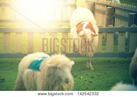 Sheep Is Jumping Over The Wall