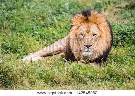 Lion laying down in the grass looking straight