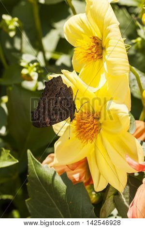 Big butterfly on a large yellow flower blossom