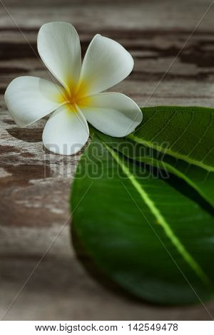 close up view of frangipani flower on color back