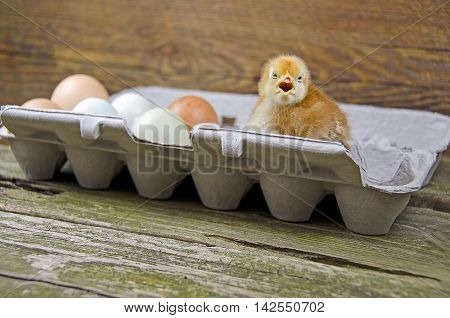 Baby chick and whole eggs on paper carton on rustic wood