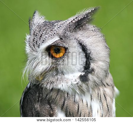 Southern White Faced Scops Owl (Male) Bird of prey