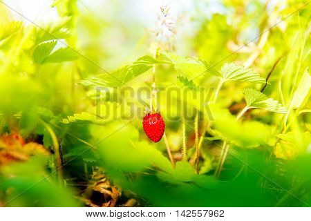 Plant strawberries with grapes and leaves on the field closeup.