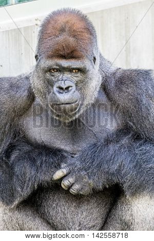 Gorilla sarcastic look or thinking with hands together