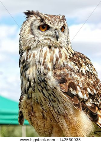 Bengal Eagle Owl (Male) Bird of prey