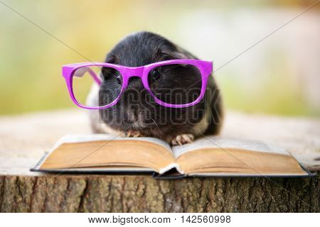 funny guinea pig in glasses with a book