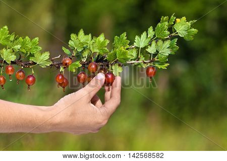 hand picking ripe red berries of gooseberry in the garden