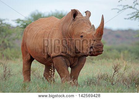 A white rhinoceros (Ceratotherium simum) in natural habitat, South Africa