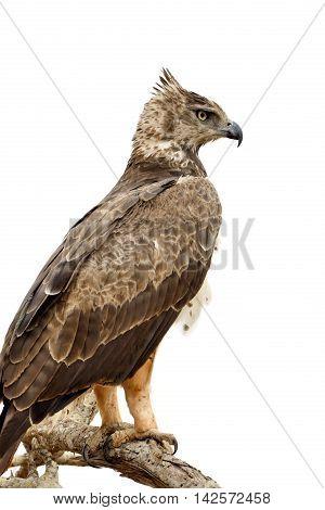 Tawny Eagle (aquila Rapax) Sitting On A Branch Tree