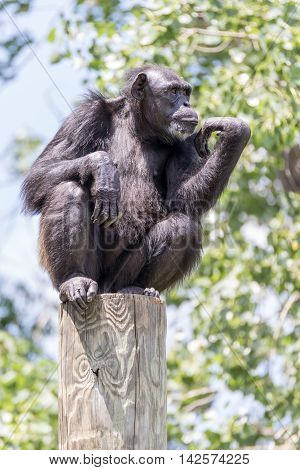 A Chimpanzee in deep thought on post