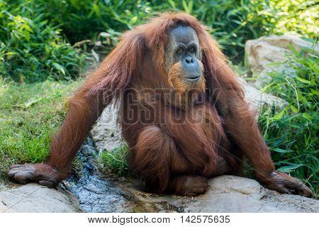 Orangutan sitting on the rocks near stream