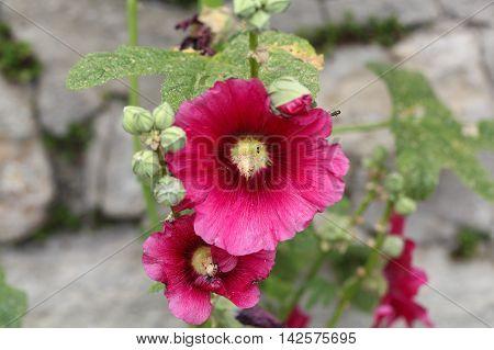 Flower of a rose mallow (Hibiscus moscheutos)