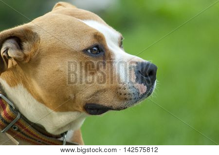 picture of a beautiful brown stafford dogfemale