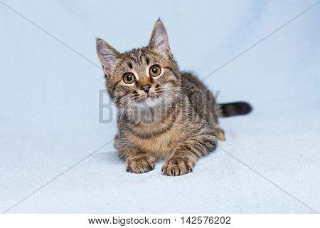 Beautiful little kitten on a blue background
