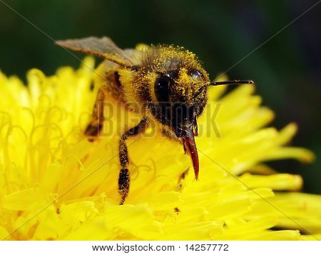 Close up of wild-bee collecting nectar, and pollinating flower