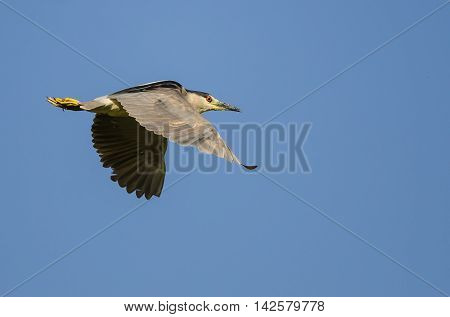 Lone Black-Crowned Night Heron Flying in a Blue Sky