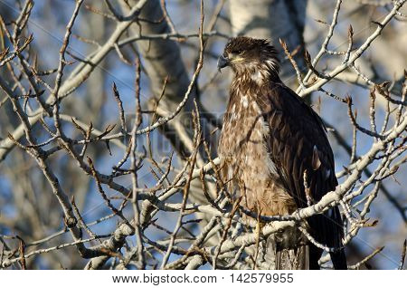 Young Bald Eagle Perched High in a Barren Tree