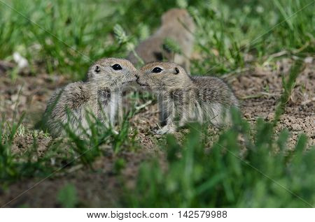 Two Cute Ground Squirrels Sharing a Little Kiss