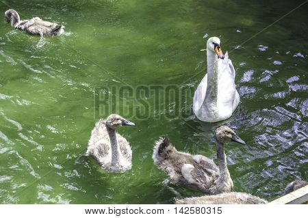 Mother swan with young swans in the pond of the city park