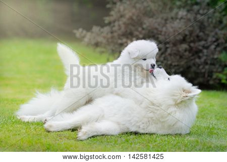 Samoyed dog with puppy lying on grass