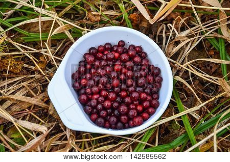 Collected in nature lingonberries in a plastic cup